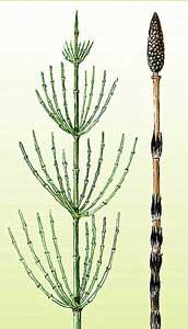 Хвощ полевой - многолетнее травянистое растение.  Стебли буроватые или...